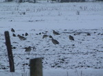 SX12030 Curlews in the snow (Numenius arquata).jpg