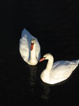SX12263 Swans on Ogmore river.jpg