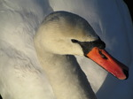SX12272 Close up white swan.jpg