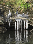 SX12282 Icicles from Ogmore River embankment.jpg