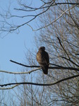 SX12298 Buzzard on branch.jpg