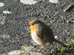 SX12317 Close up of Robin on path.jpg