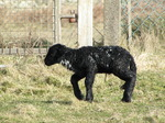 SX12435 Tiny little black lamb.jpg