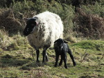 SX12440 Tiny little black lamb with ewe.jpg