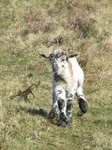 SX12637 Little lamb running down hill.jpg