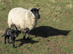 SX12647 Little black lamb and ewe.jpg