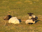 SX12766 Four little lamb resting.jpg