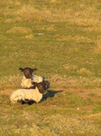 SX12768 Two little lamb resting in grass.jpg