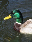 SX12793 Closeup of male duck.jpg
