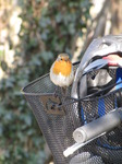SX12801 Robin on basked of push bike.jpg