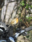 SX12803 Singing Robin on basked of push bike.jpg