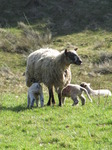 SX12835 Two little lambs drinking.jpg