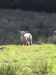 SX12836 Little white lamb in field.jpg