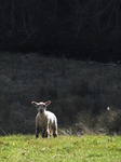 SX12839 Little white lamb in field.jpg