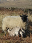 SX12845 White lamb drinking by Ewe with black head.jpg