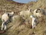 SX12853 Herd of lamb and sheep.jpg