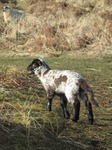 SX12855 Small black and white lamb.jpg