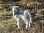 SX12862 Tiny white lamb.jpg