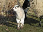 SX12870 Tiny white lamb and sheep.jpg
