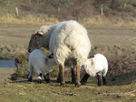 SX12874 Two white lambs drinking at mother sheep.jpg