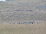 SX13048 Wild horses in Brecon Beacons.jpg