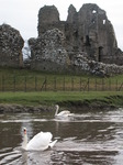 SX13177 Swans at Ogmore Castle.jpg