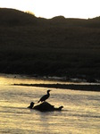 SX13191 Silhouette of Cormorant (Phalacrocorax Carbo).jpg