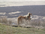 SX13306 Wild pony on Twyn Croes Gwallter in Brecon Beacons National Park.jpg