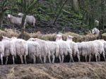 SX13320 Row of sheep's butt feeding near Pont Rhydrhiwllan.jpg