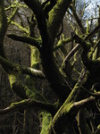 SX13724 Moss covered trees.jpg
