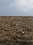 SX13748 Wild ponies in Brecon Beacons.jpg