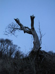 SX13773 Old tree trunk at dusk.jpg