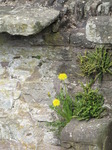 SX13850 Dandelions on wall of Bronllys Castle.jpg