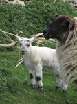 SX14022 Little white lamb and ewe.jpg