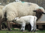SX14042 Little white lamb drinking by ewe.jpg
