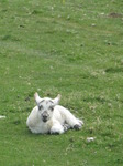 SX14048 Little white lamb laying in grass.jpg