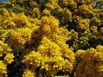 SX14162 Bright yellow flowering Gorse (Ulex europaeus).jpg