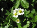 SX14190 Wild strawberry flowers (Fragaria vesca).jpg