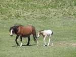SX14241 Horse and white foal.jpg