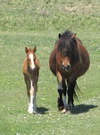 SX14242 Horse and foal approaching.jpg