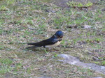 SX14401 Swallow with grass in beak (Hirundo rustica).jpg