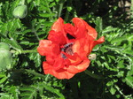 SX14413 Big Red Poppy.jpg