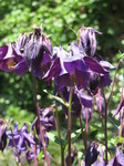 SX14414 Purple garden flowers.jpg