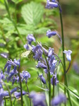 SX14476 Green-veined White butterfly (Pieris napi) on Bluebells (Scilla non-scripta).jpg
