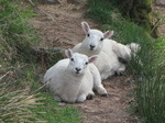 SX14542 Two curious looking lambs.jpg