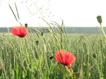 SX14870 Poppies in field.jpg