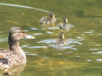 SX14872 Duck and ducklings in Park Sonsbeek, Arnhem, The Netherlands.jpg