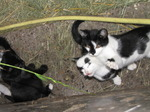 SX15004 Young kittens playing with grass stalk.jpg