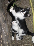 SX15013 Young kittens playing with grass stalk.jpg