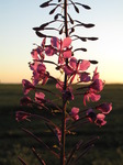 SX15042 Rosebay Willowherb (Charmerion angustifolium) at sunset.jpg